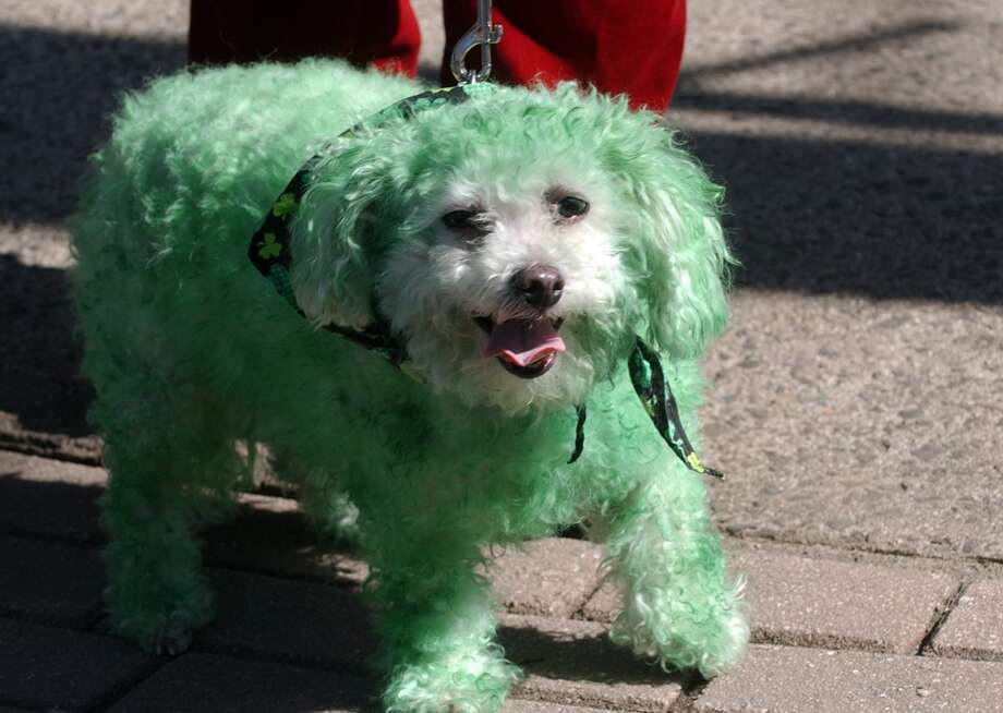 No. 23: Westport. The town of Westport has the 23rd largest percentage of resident claiming an Irish ancestry in Southwestern Connecticut, at 16.2 percent. Betsy, a dog being walked by Donna Booth, of Westport, gets into the act with her green fur, during the St. Patrick's Day Parade in downtown Milford, Conn. on Saturday March 10, 2012.