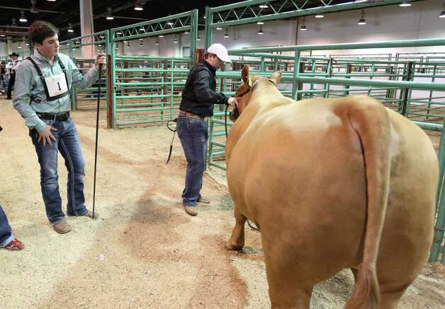 "Kelton Long, 15, of Wellington, center, looks at ""Chappy"" the Grand Champion Junior Market Steer as Chappie gets ready to head to the truck during the 2013 Junior Market Steer Auction at the Houston Livestock Show and Rodeo Saturday, March 16, 2013, in Houston. The buyers Evelyn and Roger Bethune; Vanessa, Chris, Kyle and Rihanna Bruegger; Sally and Rigo Flores; and Stewart Title/Mary Alice and E.D. Lester went on to win Chappie with a bid of $360,000. Photo: Karen Warren, Houston Chronicle / © 2013 Houston Chronicle"