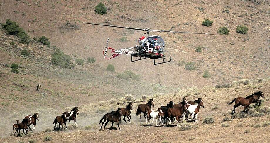 In 2002, a helicopter rounded up wild horses in Nevada, which is set to remove hundreds this year. Photo: Liz Margerum, Associated Press