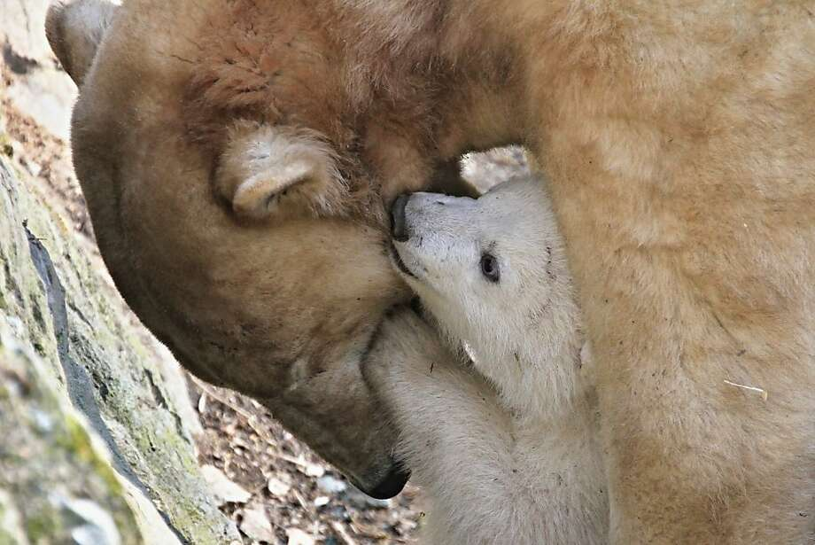 Psst, Mom. I need tell you a secret … PSYCHE! I just wanted to bite your face. Photo: Radek Mica, AFP/Getty Images