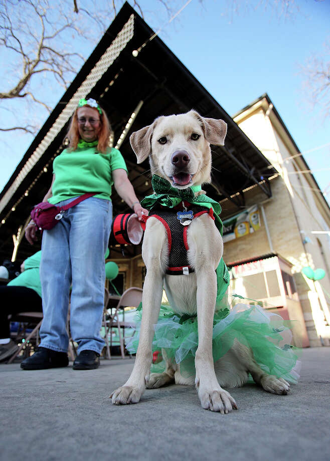"""Thurber"" stands in his Irish garb with owner Christine Saalbach at the Beethoven Hall as St. Patrick's Day is celebrated  on  March 16, 2013. Photo: TOM REEL"
