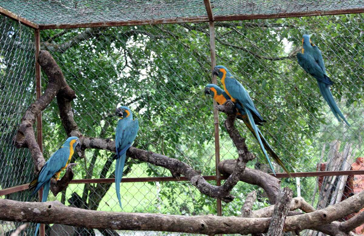 In this March 2013 photo released by the Noel Kempff Mercado Foundation, macaws perch on trunks inside a caged breeding center in the Amazon near the city of Trinidad, in the state of Beni, Bolivia. These birds are of the six endangered macaws flown from Britain to Bolivia in hopes that they can help save a species devastated by the trade in wild animals, international conservation experts said Tuesday. The birds, with blue wings and a yellow breast, arrived last week at the conservation center in northeastern Bolivia, close to their natural habitat, and the local Noel Kempff Foundation said it hopes to breed or release them.