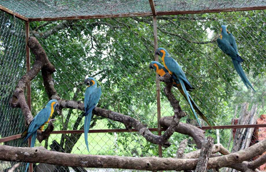 In this March 2013 photo released by the Noel Kempff Mercado Foundation, macaws perch on trunks inside a caged breeding center in the Amazon near the city of Trinidad, in the state of Beni, Bolivia.  These birds are of the six endangered macaws flown from Britain to Bolivia in hopes that they can help save a species devastated by the trade in wild animals, international conservation experts said Tuesday. The birds, with blue wings and a yellow breast, arrived last week at the conservation center in northeastern Bolivia, close to their natural habitat, and the local Noel Kempff Foundation said it hopes to breed or release them. Photo: AP