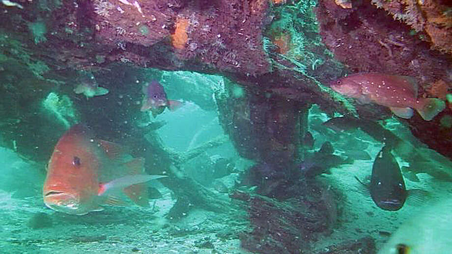 In this 2012, photo, fish swim through an ancient forest found 60 feet underwater about 10 miles offshore from Mobile, Ala. Scientists who examined the trees remarked on how well preserved the wood was. The forest was apparently buried under a thick layer of sand for eons until it was uncovered by giant waves during Hurricane Katrina. Photo: AP