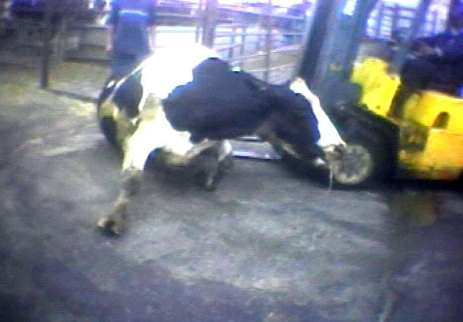 "In this April 22, 2010 image from video provided by the United States Humane Society, a Hallmark Meat Packing slaughter plant worker is shown attempting to force a ""downed"" cow onto its feet by ramming it with the blades of a forklift in Chino, Calif. State legislators across the country are introducing laws making it harder for animal welfare advocates to investigate cruelty and food safety cases. Bills pending in California, Nebraska and Tennessee require that anyone collecting evidence of abuse turn it over to law enforcement within 24 to 48 hours - which advocates say does not allow enough time to document illegal activity under federal humane handling and food safety laws. Critics say the bills are an effort to deny consumers the ability to know how their food is produced. Photo: AP"
