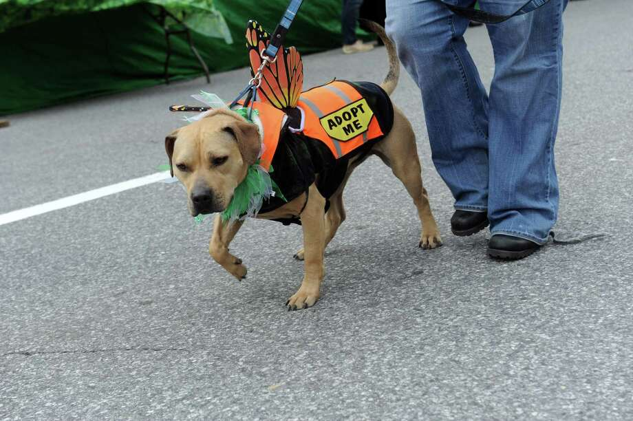 A dog from Adopt-A-Dog marching at  the GreenwichâÄôs 39th annual St. PatrickâÄôs Day parade at Greenwich Avenue, in Greenwich, Conn., March 17, 2013. Photo: Helen Neafsey / Greenwich Time