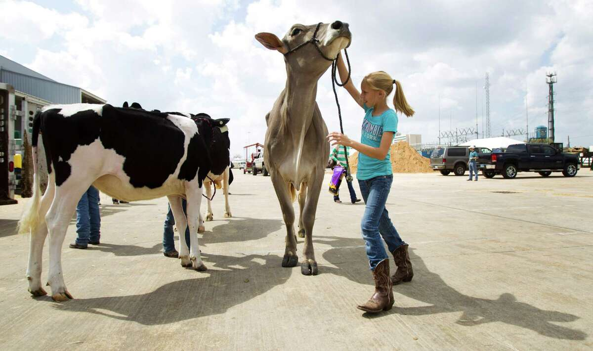 Schulenburg's Kaylie Zapalac leads a cow to a trailer on the last day of the Houston Livestock Show.