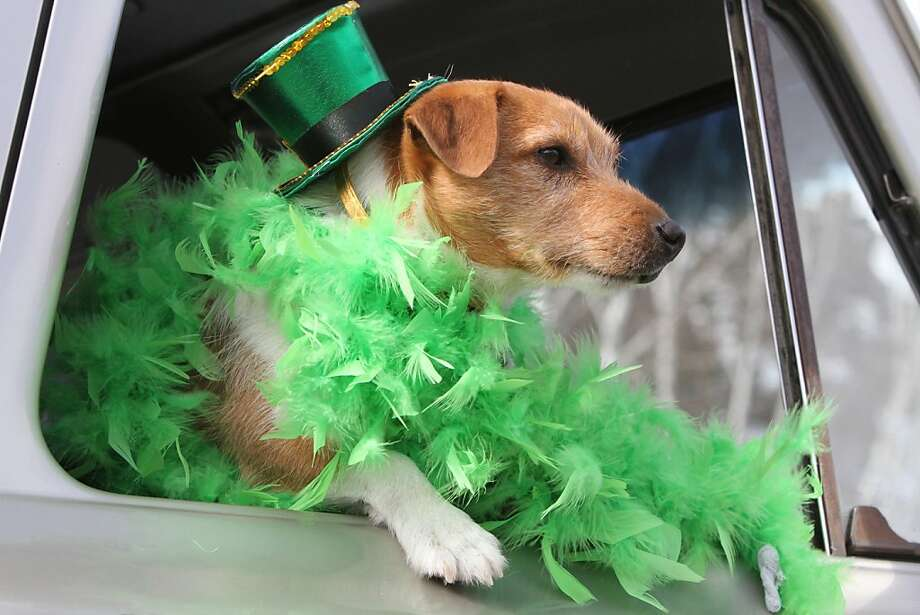 In this photo taken Saturday, March 16, 2013, A dog dressed in green sticks its head out of the window of a truck pulling a float during the Crosslake St. Patrick's Day Parade in Crosslake, Minn.  Photo: Kelly Humphrey, Associated Press