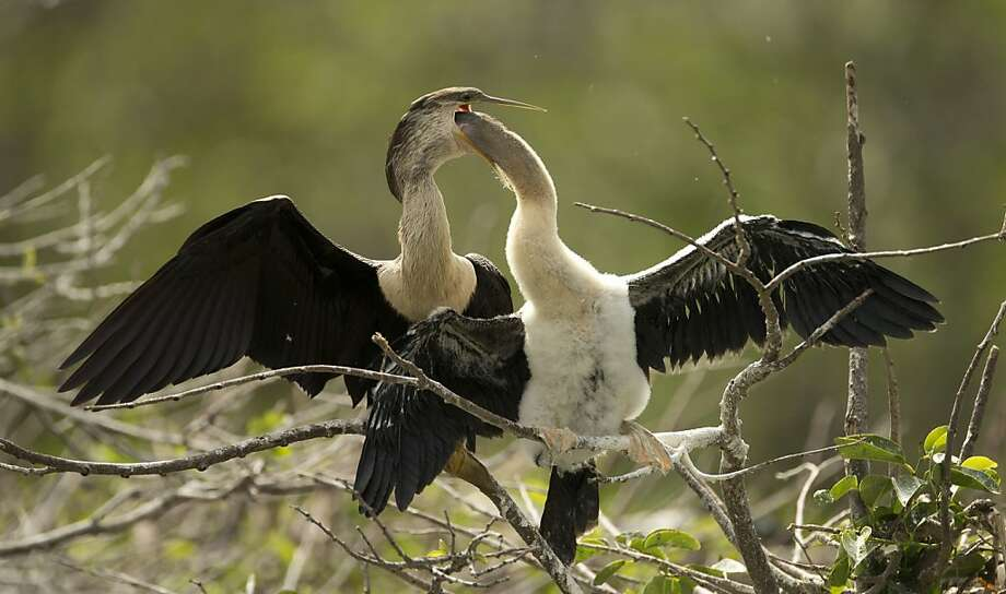 A young anhinga reaches inside a mature bird's mouth for food at the Wakodahatchee Wetlands near Delray Beach, Fla., Sunday, March 17, 2013.  Photo: J Pat Carter, Associated Press