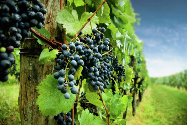 Grapes Photo: Tomas Bercic, Getty Images / Vetta