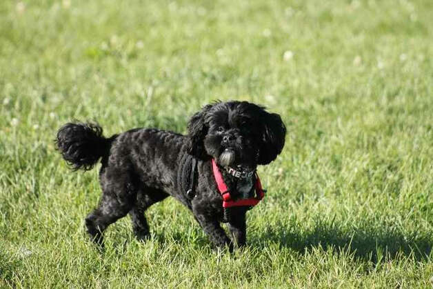 Katie Jo, a 4-year-old Shih Poo went missing in February and was recently recovered. Photo: Courtesy