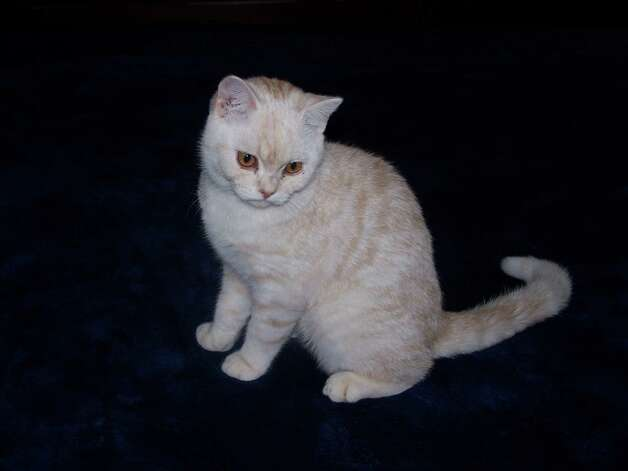 A British short hair, Krystofer Robyn's owners bought him on impulse at a cat show several months ago. His quirk is putting paper clips into his food pan. Photo: Courtesy Photo