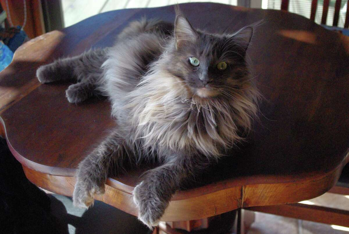 The runner-up was Lizzy, an American longhair. Her name was Mary Elizabeth when they adopted her, but they call her Lizzy.