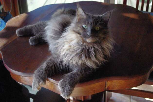 The runner-up was Lizzy, an American longhair. Her name was Mary Elizabeth when they adopted her, but they call her Lizzy. Photo: Courtesy Photo