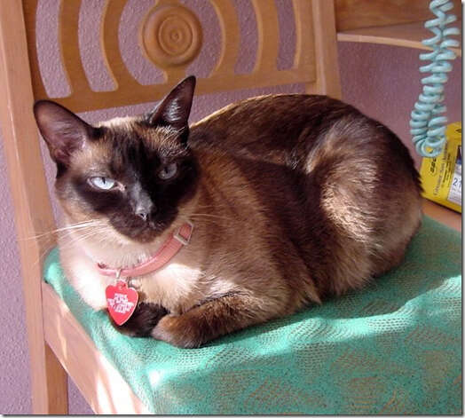 Pookie, a 14-year-old Seal Point Siamese, loves to pose for photos and, at times, can be naughty. Photo: Courtesy Photo