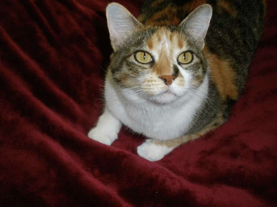 Callie, a medium-short hair Calico, greets company and is the official shoe and purse inspector. Photo: Courtesy Photo
