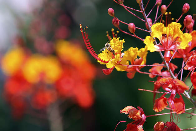 Pride of Barbados plants can be cut to the ground any time from now until they begin to put on new growth. Photo: File Photo