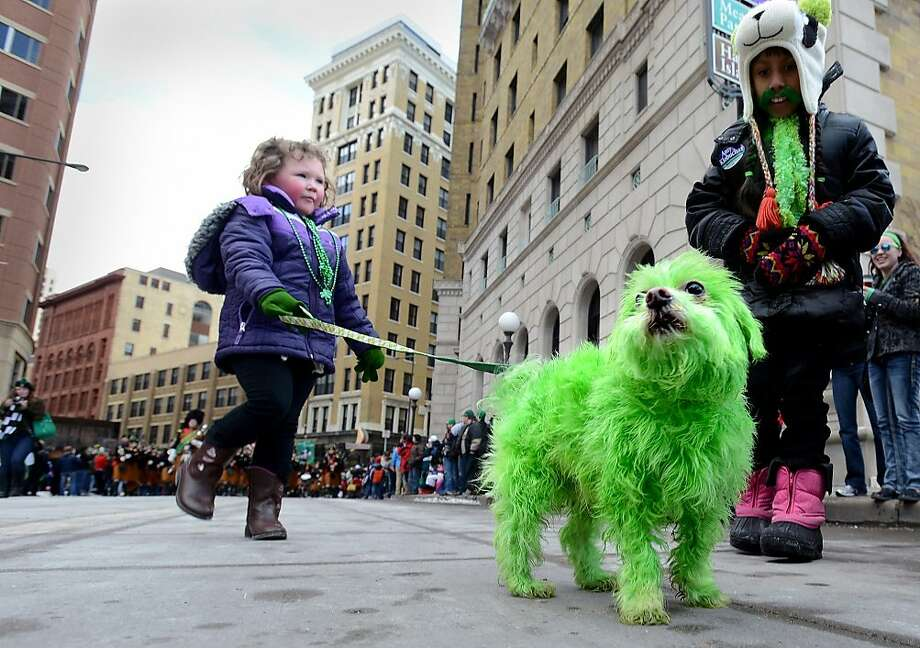 A shamrock shakeis what Howie the Maltese did after 4-year-old Mia York's family dipped him in green dye for the St. Patrick's Day parade in downtown St. Paul, Minn. Photo: Chris Polydoroff, Associated Press