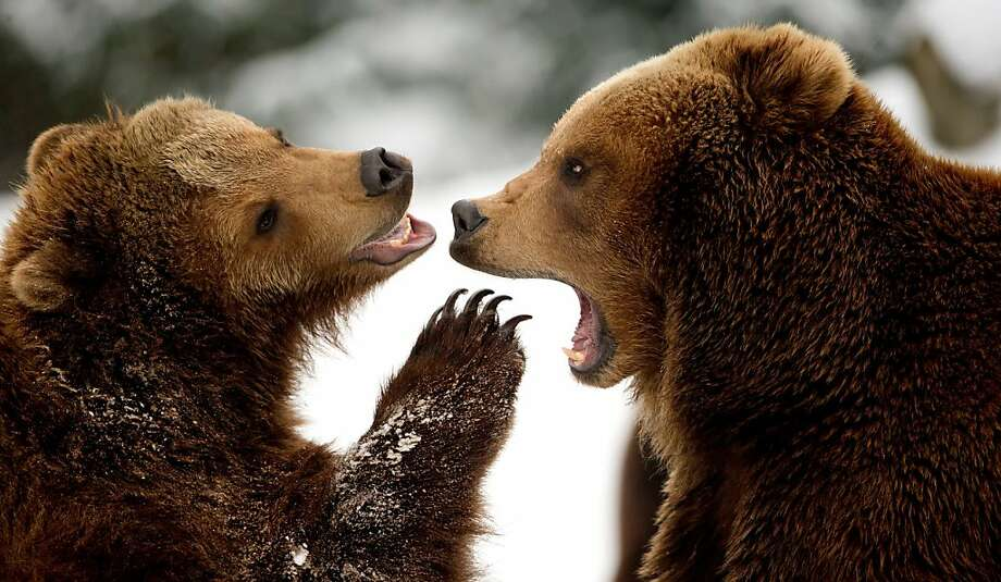 """I take umbrage at that remark!Two brown bears play in the snow at Tierpark Hagenbeck zoo in Hamburg, Germany, and by """"play"""" we mean fight to the death - or at least until someone cries uncle. Photo: Sven Hoppe, AFP/Getty Images"""
