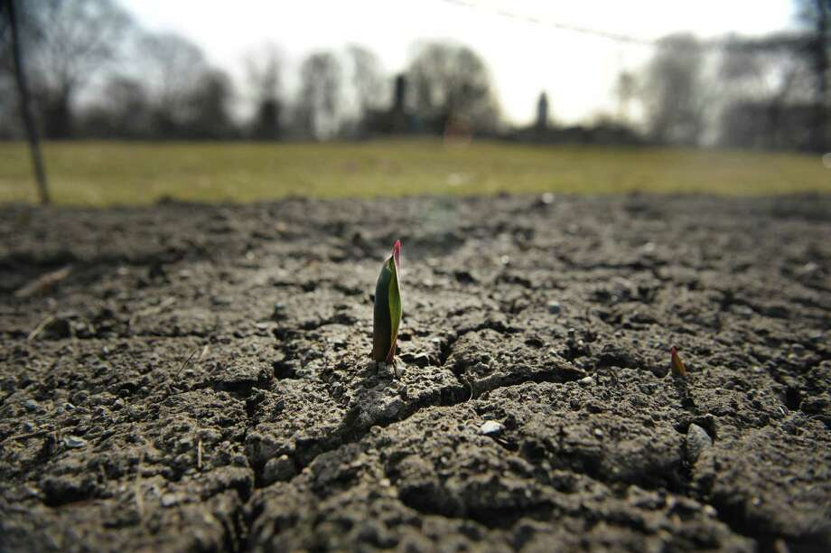 A tulps breaks through the dirt in one of the flower beds in Washington Park on Monday, March 18, 2013 in Albany, NY.  (Paul Buckowski / Times Union) Photo: Paul Buckowski