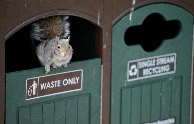A squirrel uses a refuse container in Academy Park March 18, 2013, in Albany, N.Y.,  for a potential harbor from the forecast storm which is about to hit the area with heavy snow tonight and tomorrow.      (Skip Dickstein/Times Union) Photo: SKIP DICKSTEIN