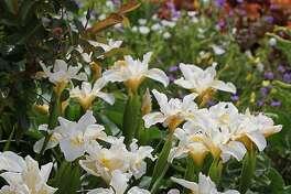 Iris douglasiana 'Canyon Snow'