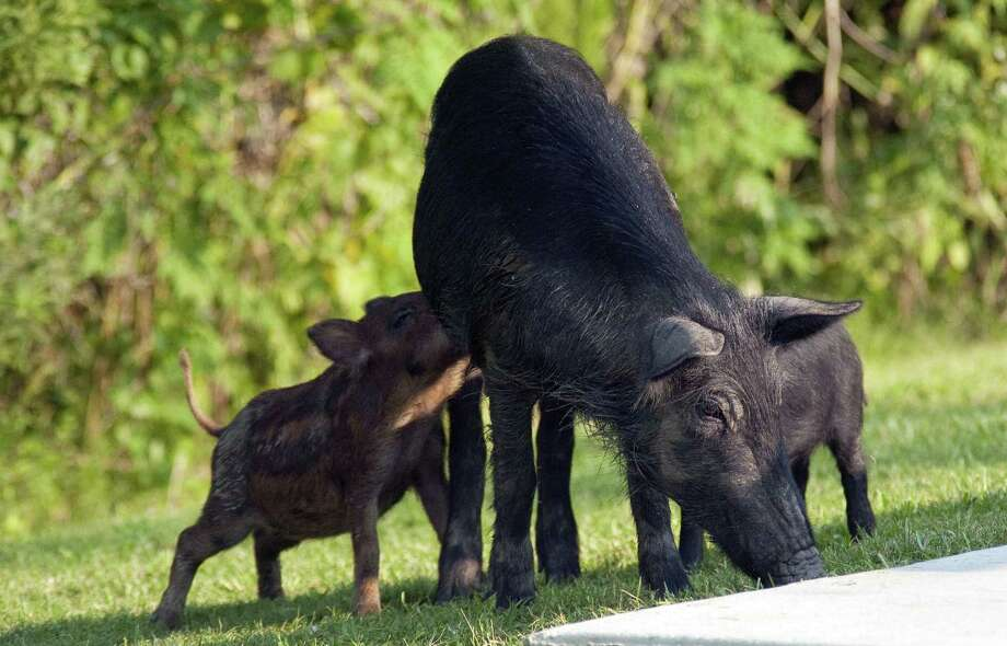 There are more than 5 million wild pigs in the U.S., spurring a new effort to control their numbers. Photo: Richard Nowitz / U.S. Department Of Agriculture
