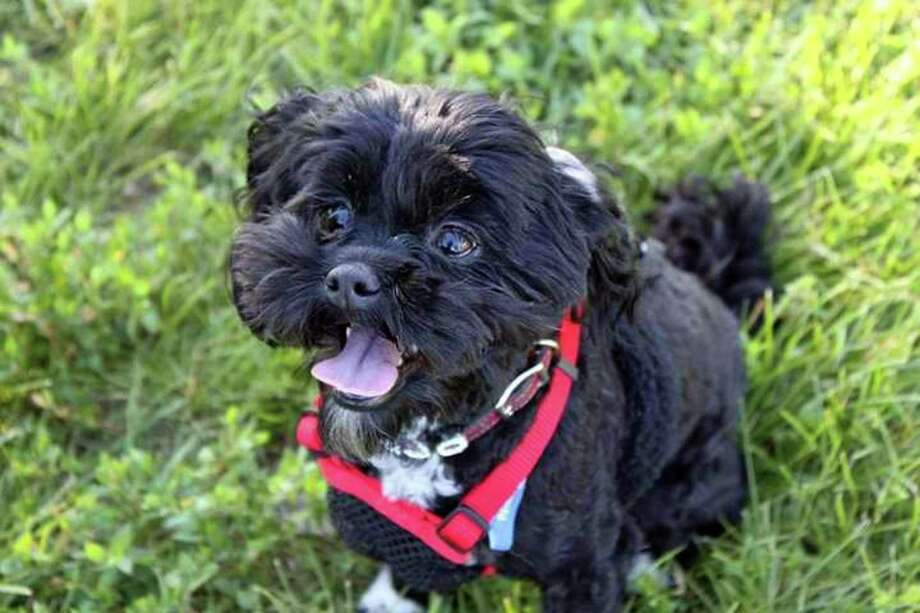 Katie Jo, a Shih-poo who went missing Feb. 7, was found this weekend and returned to her owners. Photo: Courtesy Photo
