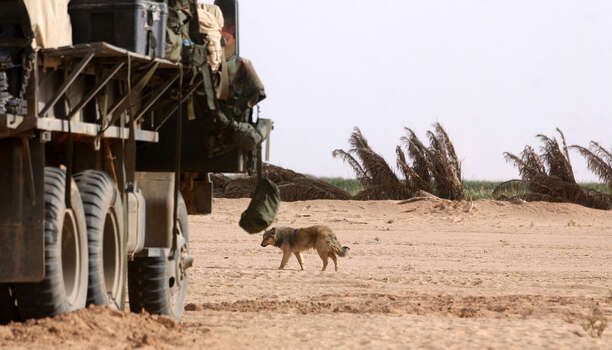 A feral animal roams for food near the Army 27 Infantry's assembly area on March 29, 2003, in the South Central Iraqi desert. Several soldiers said a barbecued fox would probably taste better than their MREs. The fox went unharmed.  Photo: BAHRAM MARK SOBHANI, SAN ANTONIO EXPRESS NEWS / SAN ANTONIO EXPRESS NEWS