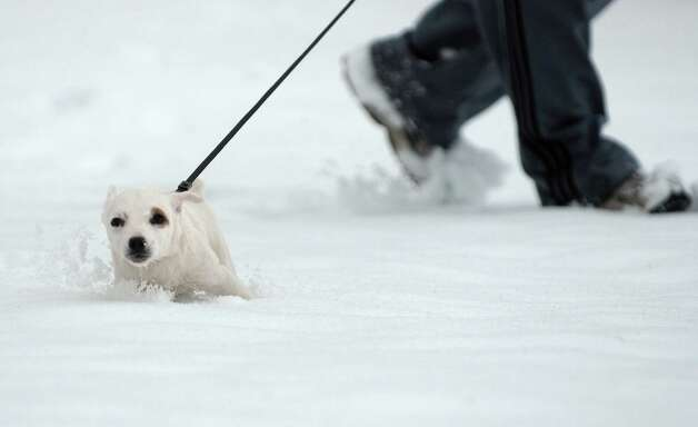 """Shiner"", a three month old jack russell terrier plays in the snow as her owner, Aaron Bagwell of Albany took her for a walk in Washington Park on Tuesday, March 19, 2013 in Albany, NY.   (Paul Buckowski / Times Union) Photo: Paul Buckowski"