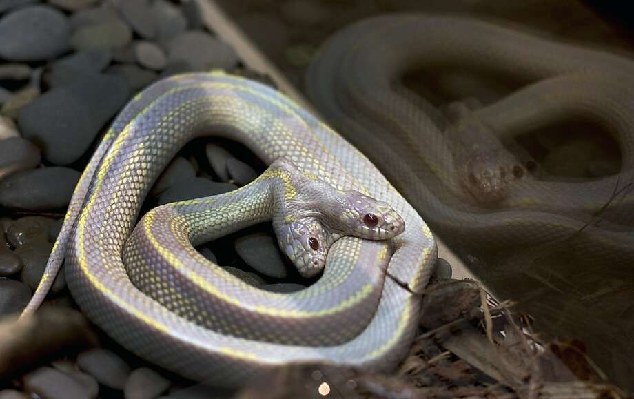 Improbable doubleheader:Not only does this California Kingsnake at the Moscow Zoo have two heads, it's also an albino. Zoo officials say two-headed snakes are a one-in-a-million occurrence and usually don't survive in the wild. Photo: Katya Abramkina, AFP/Getty Images