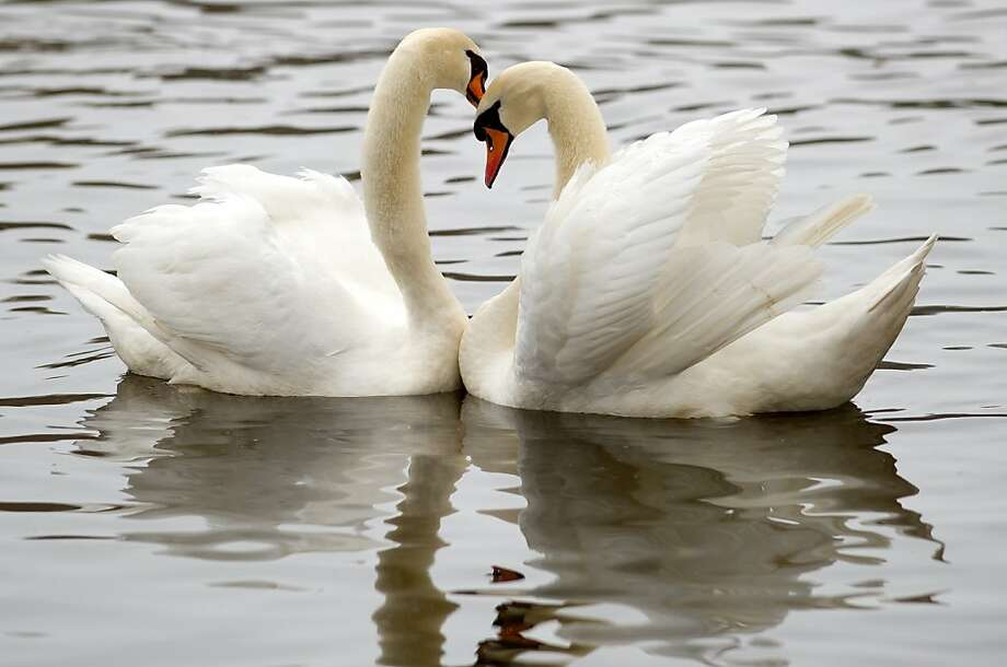 Swans bump heads affectionately on a lake in Hamburg. Photo: Sven Hoppe, AFP/Getty Images