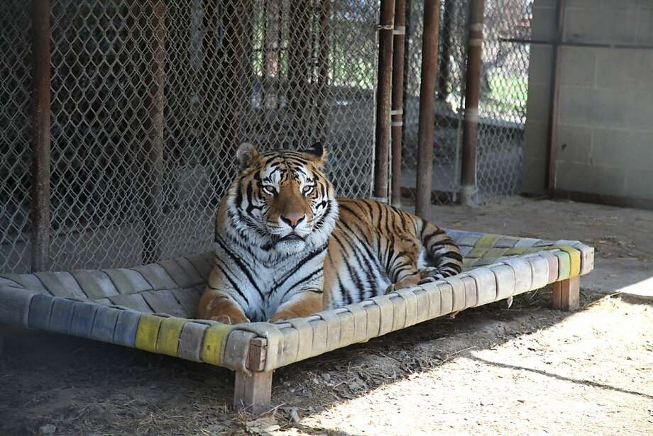 Joint operation:Forgive Tacoma the Siberian tiger for lying around all day. The 13-year-old cat just became the first U.S. tiger to undergo nerve surgery to alleviate pain caused from hip dysplasia. Photo: John L. Mone, Associated Press