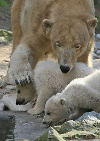 Too much ankle-biting, however, and Mom will step on your head. Photo: Radek Mica, AFP/Getty Images