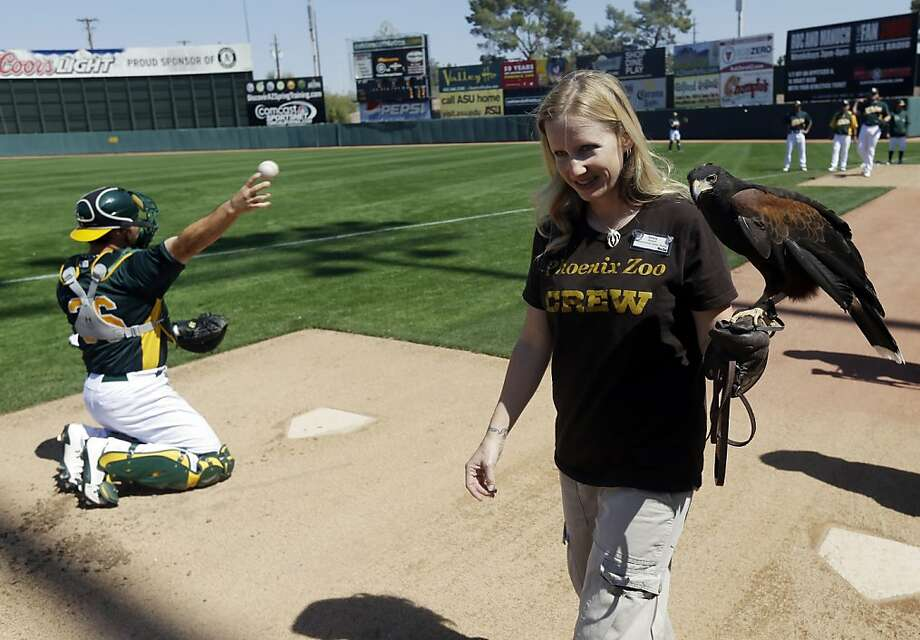 Pigeon Control Day at the ballpark: Sarena Gill shows Merlin, a Harris hawk from the Phoenix Zoo, around the Oakland bullpen before the Athletics-Mariners game in Phoenix. Photo: Marcio Jose Sanchez, Associated Press