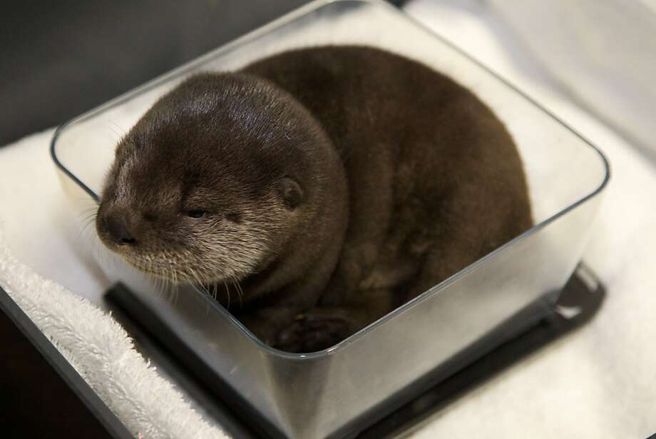 "But I don't want to be made into a casserole! Baby river otter Molalla, or ""Mo"" for short, is weighed at the Oregon Zoo. Molalla weighs about 2.5 pounds and was born Jan. 28, 2013.  Photo: Benjamin Brink, Associated Press"