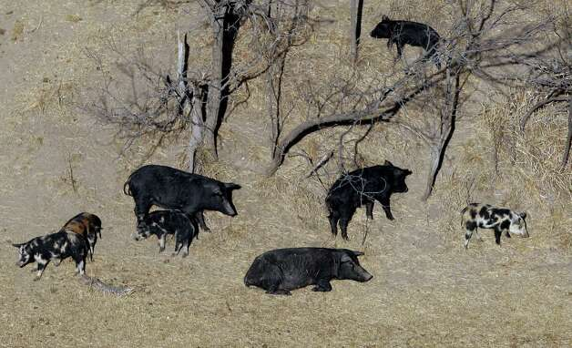 A feral pigs are seen on a rach near Mertzon, Texas, Wednesday, Feb. 18, 2009. Under a bill filed by a Fort Worth lawmaker, recreational sportsmen would be allowed to join professional hunters like Lange to aerial-hunt feral hogs to help thin out their relentlessly multiplying and destructive ranks from the perch of a helicopter. (AP Photo/Eric Gay) Photo: Eric Gay, STF / AP2009