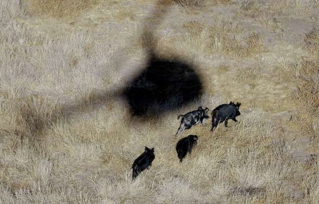 The shadow of Kyle Lange's helicopter hover over  feral pigs near Mertzon, Texas, Wednesday, Feb. 18, 2009. Under a legislation proposed  by a Fort Worth lawmaker, recreational sportsmen would be allowed to join professional hunters like Lange to aerial-hunt feral hogs to help thin out their relentlessly multiplying and destructive ranks from the perch of a helicopter. (AP Photo/Eric Gay) Photo: Eric Gay, STF / AP2009