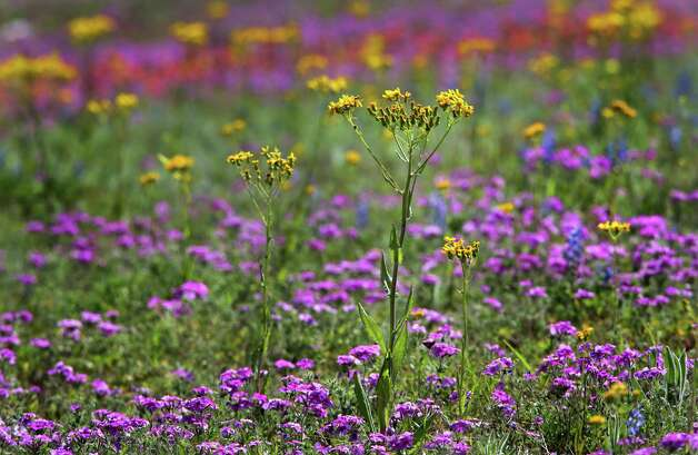 Texas groundsel, or Texas squaw weed, and magenta phlox have been sighted all over South Texas, Tuesday, March 19, 2013.  These flowers were photographed on and around US 181 north of Floresville. Photo: BOB OWEN, San Antonio Express-News / © 2012 San Antonio Express-News