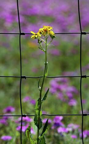 Texas groundsel or Texas squaw weed, has been sighted all over South Texas, Tuesday, March 19, 2013.  These flowers were photographed on and around US 181 north of Floresville. Photo: BOB OWEN, San Antonio Express-News / © 2012 San Antonio Express-News