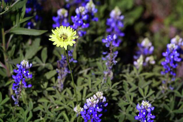 Bluebonnets and Texas dandelions have been sighted all over South Texas, Tuesday, March 19, 2013.  These flowers were photographed on and around US 181 north of Floresville. Photo: BOB OWEN, San Antonio Express-News / © 2012 San Antonio Express-News