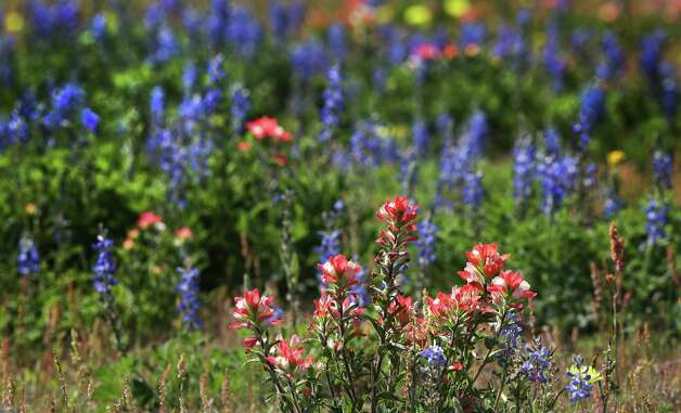 Texas Bluebonnets and other wild flowers create a background for a bunch of Indian Paintbrushes along Shannon Ridge Rd. just off US 181 in Wilson County.  Wild flowers have been sighted all over South Texas, Tuesday, March 19, 2013. Photo: BOB OWEN, San Antonio Express-News / © 2012 San Antonio Express-News