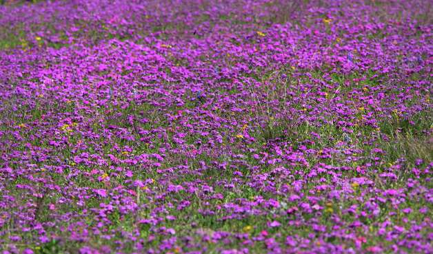 Bluebonnets and magenta phlox have been sighted all over South Texas, Tuesday, March 19, 2013.  These flowers were photographed on and around US 181 north of Floresville. Photo: BOB OWEN, San Antonio Express-News / © 2012 San Antonio Express-News