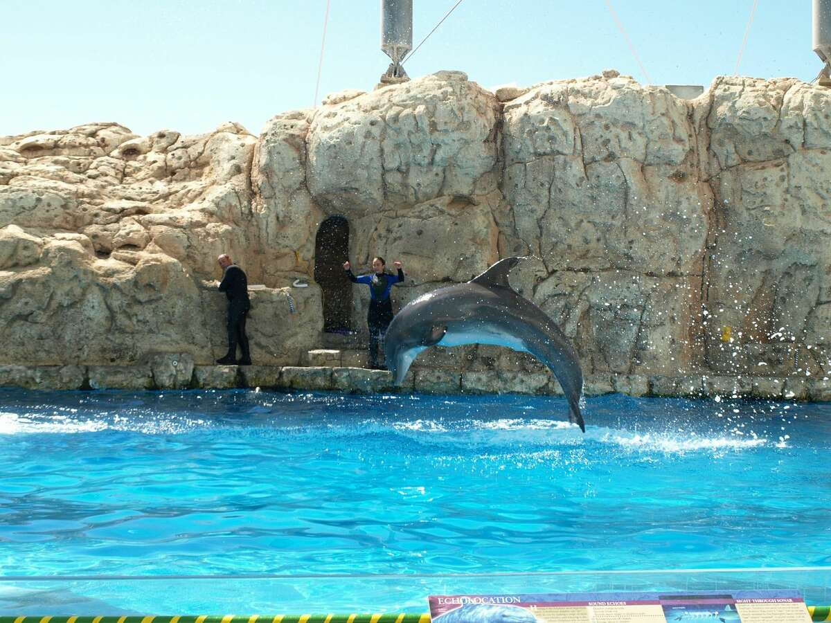 Kai, an Atlantic bottlenose dolphin, leaps out of the water during a show at the Texas State Aquarium in Corpus Christi.