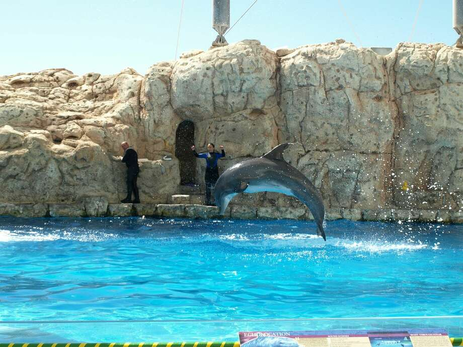 Kai, an Atlantic bottlenose dolphin, leaps out of the water during a show at the Texas State Aquarium in Corpus Christi. Photo: San Antonio Express-News