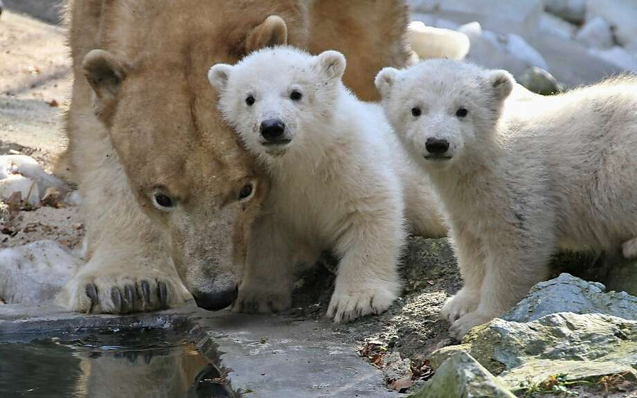 Mom, the paparazzi's onto us!Two polar bear cubs lock eyes with the photographer while mother Cora takes a drink in Brno, Czech Republic. Photo: Radek Mica, AFP/Getty Images
