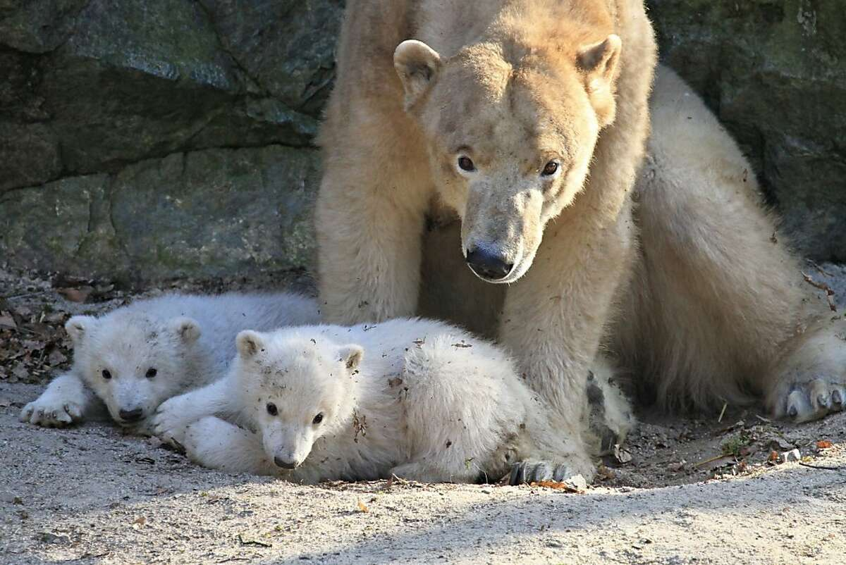 Four months ago, Cora - a polar bear residing at the zoo in Brno, Czech Republic - gave birth to these two balls of fluff. Now they're old enough to be introduced to their adoring public and explore their enclosure. Let's see what they're up to.