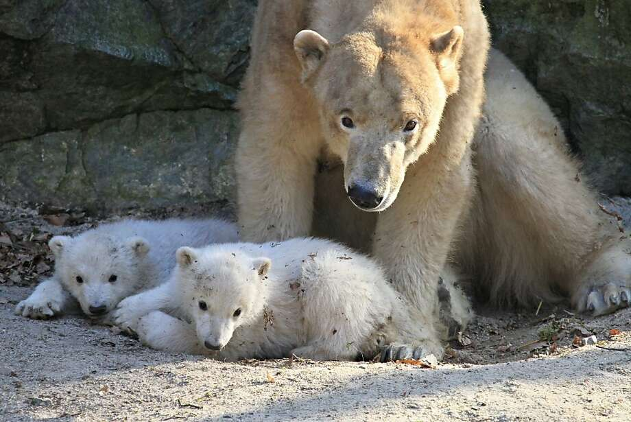 Four months ago, Cora - a polar bear residing at the zoo in Brno, Czech Republic - gave birth to these two balls of fluff. Now they're old enough to be introduced to their adoring public and explore their enclosure. Let's see what they're up to. Photo: Radek Mica, AFP/Getty Images