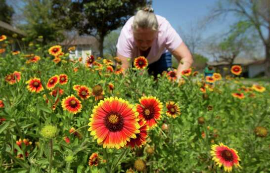 Linda Marx cleans out her bed of Indian blanket flowers Tuesday, March 19, 2013, in Houston. Photo: Cody Duty, Houston Chronicle / © 2013 Houston Chronicle