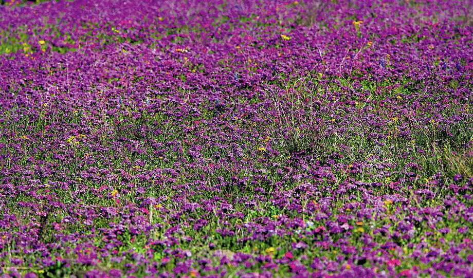 Although the wildflower display isn't as widespread as some years, there still are blooms to be found.  Photo: Photos By Bob Owen / San Antonio Express-News / © 2012 San Antonio Express-News